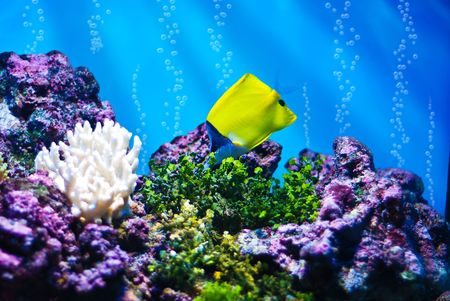 The Yellow Longnose Butterflyfish (Forcipiger flavissimus) photo