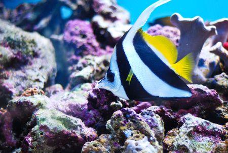 Moorish Idol, Zanclus Cornutus (Crowned Scythe) the type of fish known as Gill in Finding Nemo.