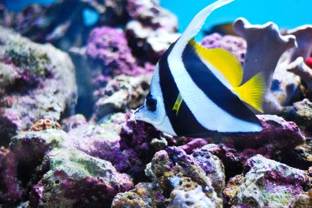 zanclus cornutus: Moorish Idol, Zanclus Cornutus (Crowned Scythe) the type of fish known as Gill in Finding Nemo.