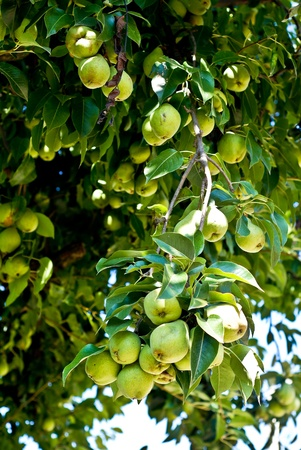 homegrown: Organic Homegrown Pears in Tree