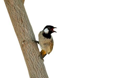 bird nightingale: nightingale ( Luscinia megarhynchos) Bird With Tree Close Up