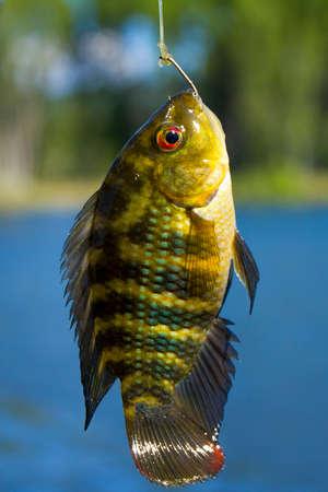 convict lake: Common carp Stock Photo