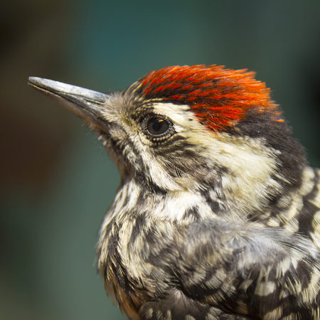 crossbars: Little Bird Woodpecker, Chile. Head with front and black crown; red and black back neck front. Sides of the white face With blackish band across the eye and Reaches the handset back area. Back and loin with black and white crossbars. Stock Photo