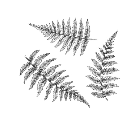 fern leaf: Black isolated fern branches, vector hand drawn leaves of bracken. Illustration