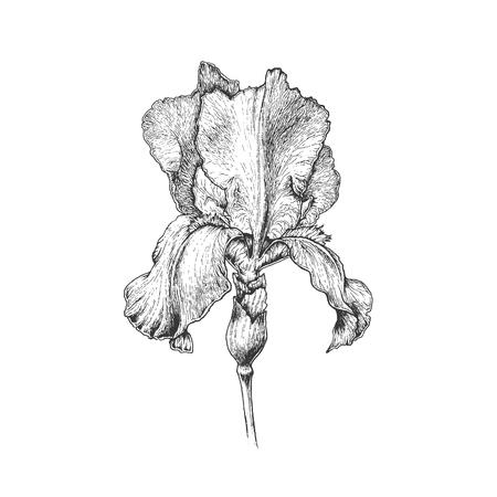 Hand getrokken grafische iris bloem, monochromatische geïsoleerd botanische illustratie.