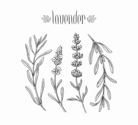 Black isolated lavender branches hand drawn leaves and flowers of plant.