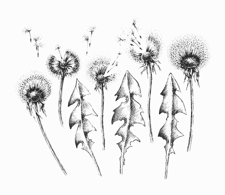 abstract flowers: Black isolated dandelion flowers and leaves set