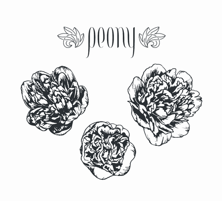Vector isolated peony hand drawn by ink flowers. Floral decorative elements for bouquet.