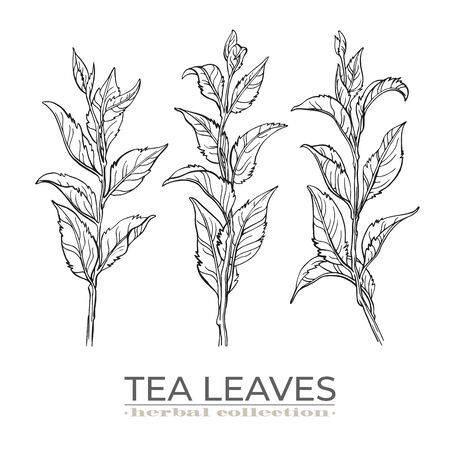 Vector tea leaves set, hand drawn by ink pen.