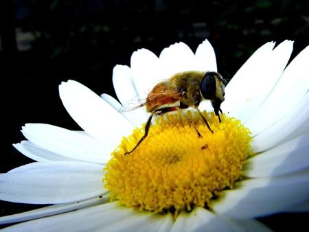 daisywheel: bee and daisywheel Stock Photo