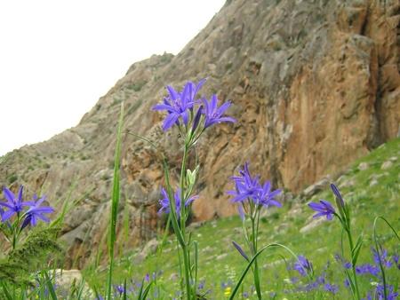 highlander: fiore di highlander