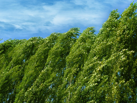 poplars: photography with scene of the poplars on background sky