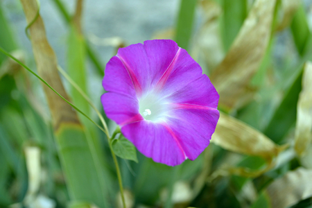 field of flower: photography with scene of the field flower bindweed Archivio Fotografico