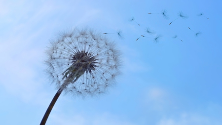 photo of a dandelion with flying fluff on background sky Stock Photo