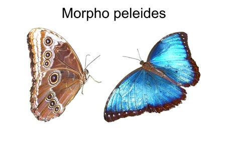 Beautiful blue butterfly Morpho peleides on an isolated white background
