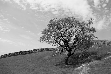drystone: Tree and drystone wall in the Lake District Stock Photo