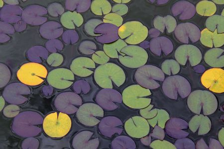 Lily - pad floating leaves at Wisley Gardens Stock Photo