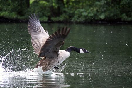 Canada  Canadian Goose taking off  from a river and splashing Stock Photo