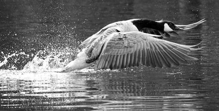 Canada  Canadian Goose taking off  flapping from a river photo