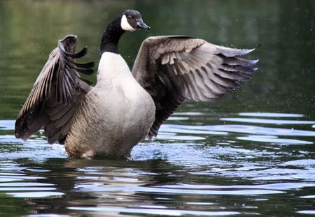 Canada  Canadian Goose stretching wings on a river photo