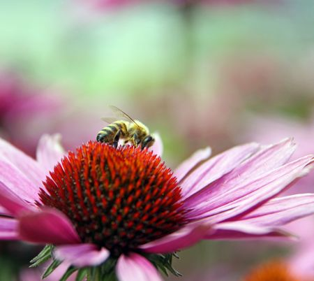 Color  colourful pink  red flower  stamen  petal and honey bee macro Stock Photo