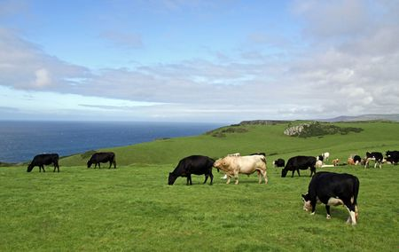 cud: Rural farm land view of fields and cows and the English Channel Stock Photo