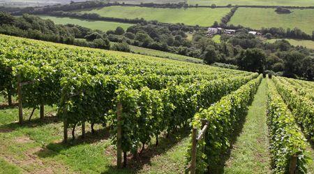 A verdant grape  wine vineyard with farm Stock Photo