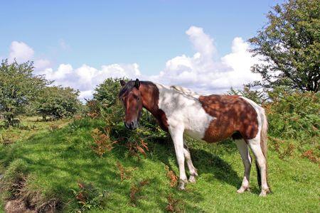 Wild paard in de natuurlijke omgeving in Bodmin Moor, Cornwall, Verenigd Konink rijk