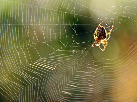 arachnoid: Garden spider in web with sun side light