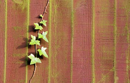 Ivy plant climbing up a garden fence photo