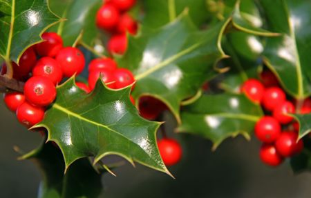 red bush: Christmas Holly and red berries
