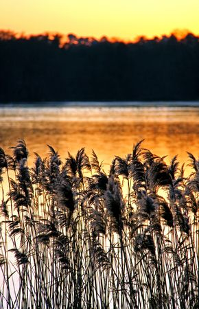 Reeds and rushes on a lake side and an orange sunset photo