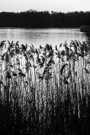 Reeds and rushes on a lake side Stock Photo - 6192444