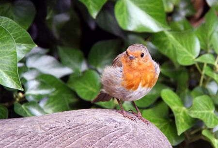 European Robin red breast bird sitting on a garden bench photo