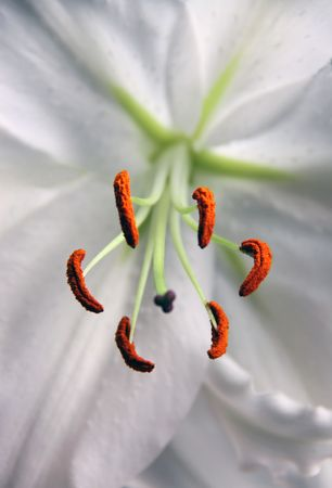 White lily flower and stamen and petals Stock Photo - 6523814
