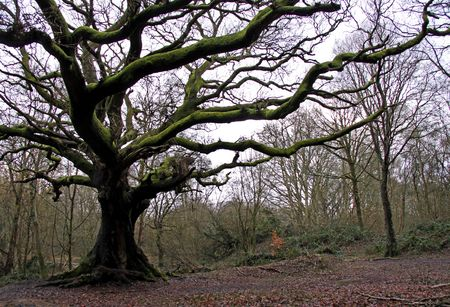 An old English Oak tree and forest Stock Photo