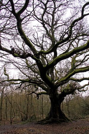 english oak: An old English Oak tree and forest Stock Photo