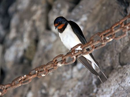 Swallow ( Hirundo rustica ) bird perched on a rusty chain Stock Photo
