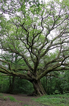 huge: Massive English Oak tree in a summer forest Stock Photo
