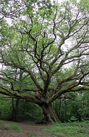 roble arbol: �rbol de roble ingl�s masiva en un bosque de verano