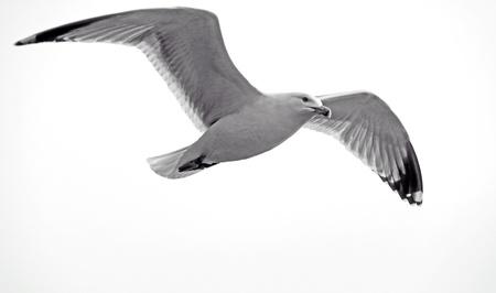 gulls: Sea gull bird flying
