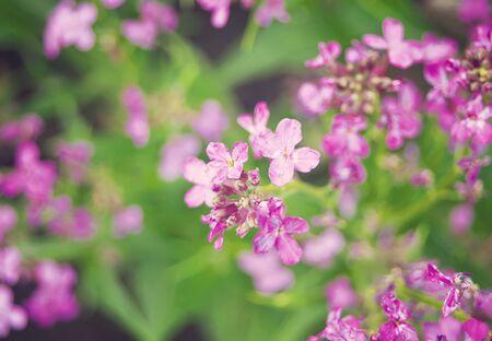 Violet wild flowers in a garden under sunlight in morning