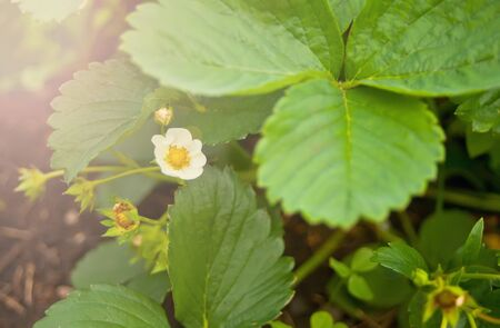 Strawberry plant blooms in the garden. Blooming strawberries. Garden strawberries growing in the garden. Strawberry bushes in the garden, background. Fragaria vesca blooms with white flowers.