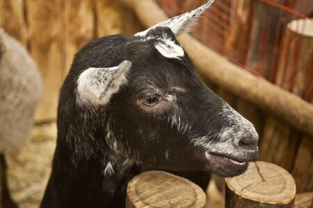 Adult black-white goat in the barn standing in wooden shelter