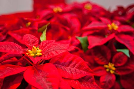 Christmas flower red Poinsettia Euphorbia pulcherrima background texture.