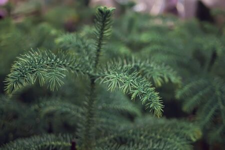 Green plant like pine tree leaves texture background. Imagens