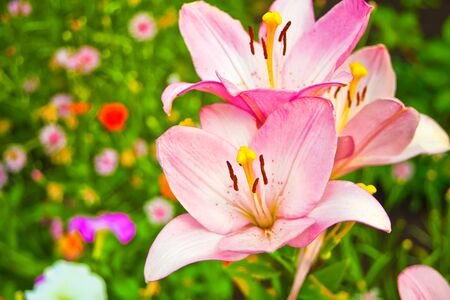 Pink beautiful lily flowers in the garden.
