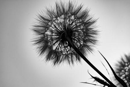 Black and White Dandelion Stock Photo