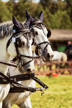 Portrait of a sports stallion. Thoroughbred horse