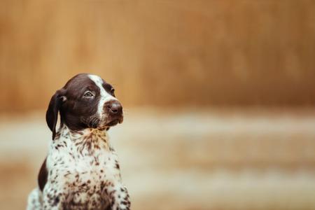 Beautiful dog puppy German Short haired Pointer
